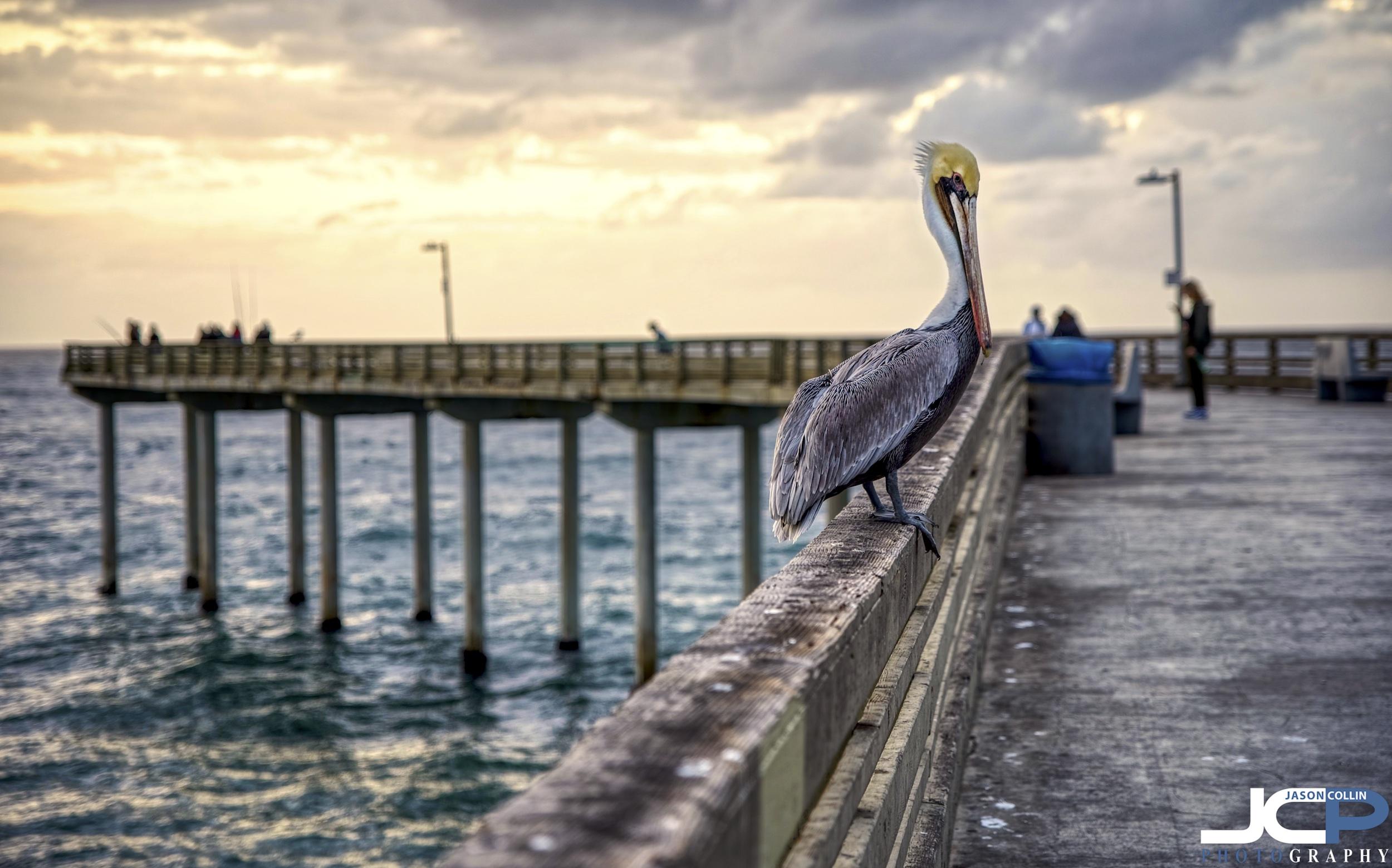 pelican ocean beach HDR photo