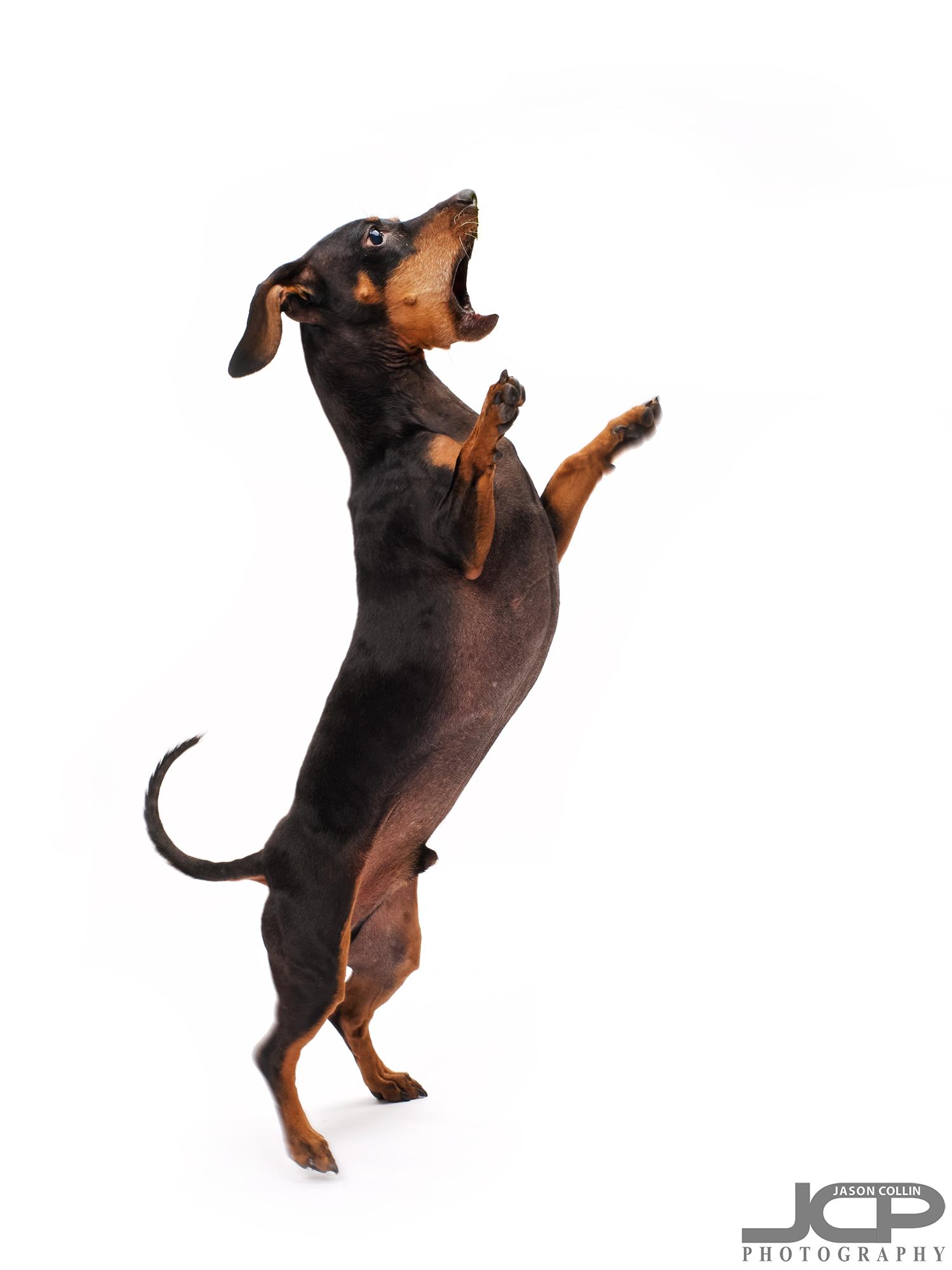 action dog portrait photography Albuquerque New Mexico