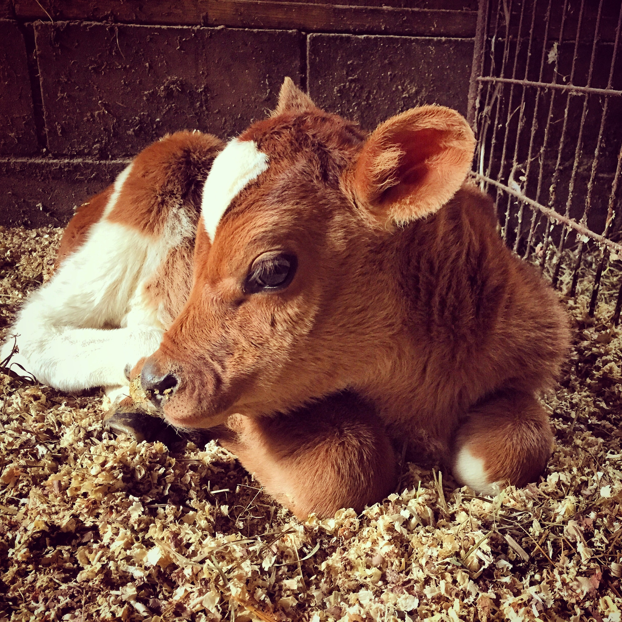 New calf with heart-shaped markings!