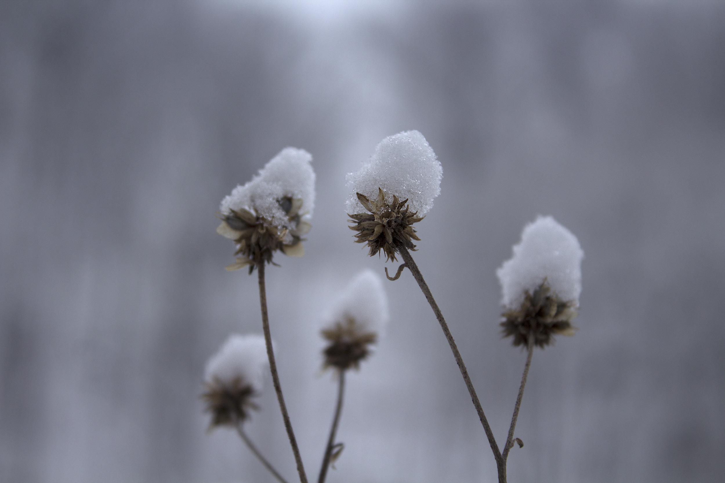 maliqi_woods_snowcap_close up.jpg