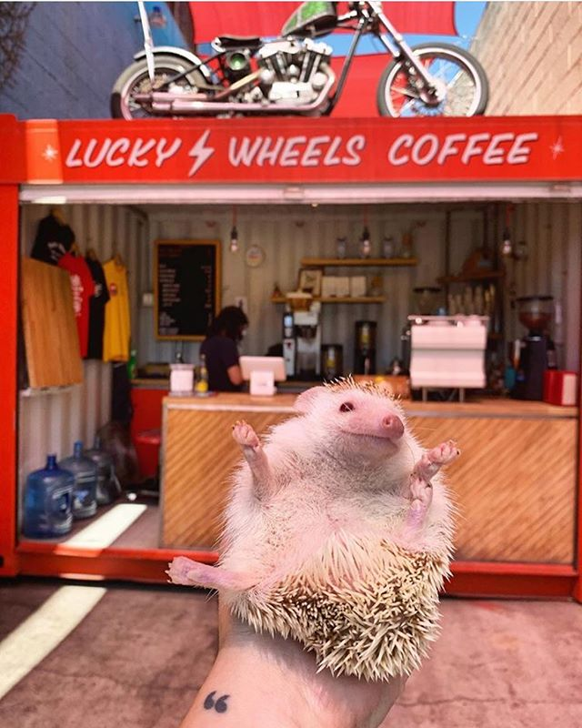 This cute little dude came by for a cold brew! What are you comin' in for? 😉🦔 📸: @brews.for.bruno . . . . #luckywheelscoffee