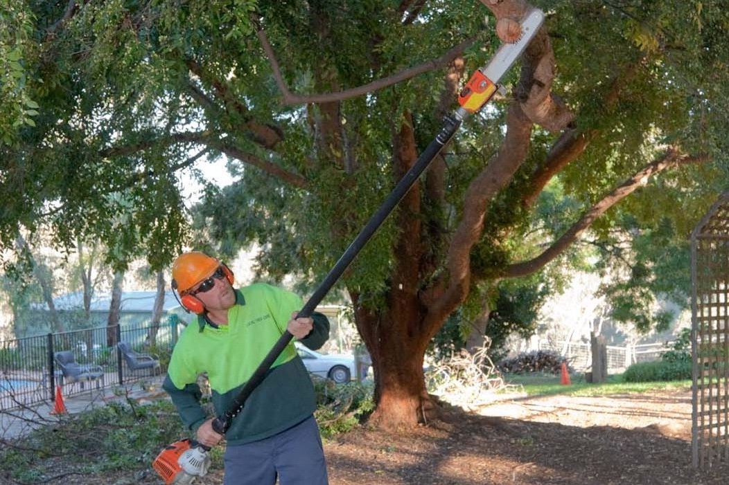 PROFESSIONAL PRUNING OF AN ULMUS PARVIFOLIA (CHINESE ELM) FOR AN ARTICLE IN THE HANDYMAN MAGAZINE