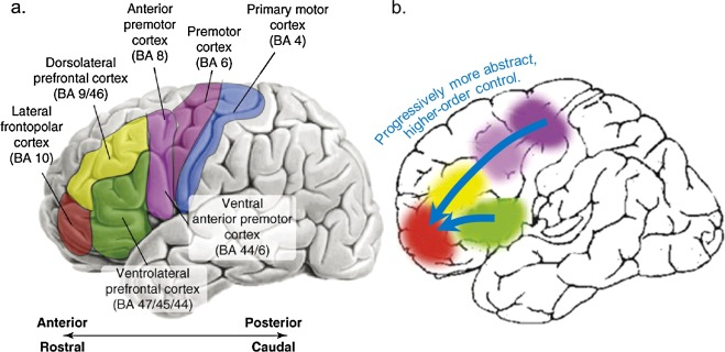 """IroiseDumontheil , """"Development of abstract thinking during childhood and adolescence: The role of rostrolateral prefrontal cortex.""""  Developmental Cognitive Neuroscience .  Volume 10 , October 2014, Pages 57-76"""