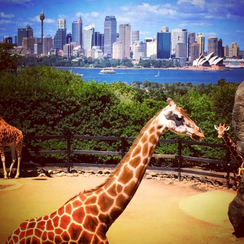 Giraffes enjoying a spectacuar view in Taronga Zoo in Sydney, Austrailia