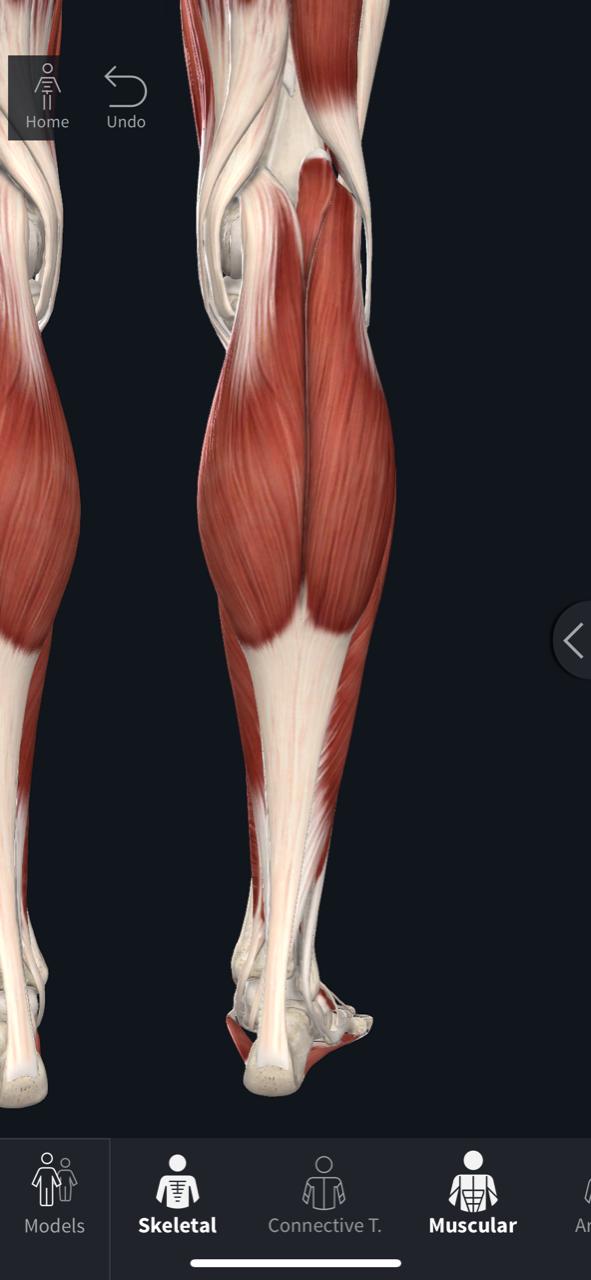 The Gastroc/Soleus Complex & Achilles Tendon