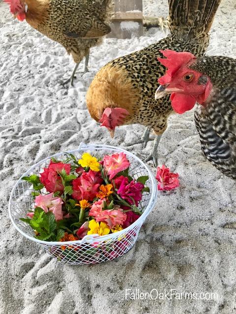 chickens breakfast.jpg