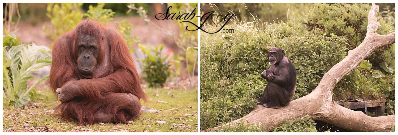 Orangutan and Chimpanzee