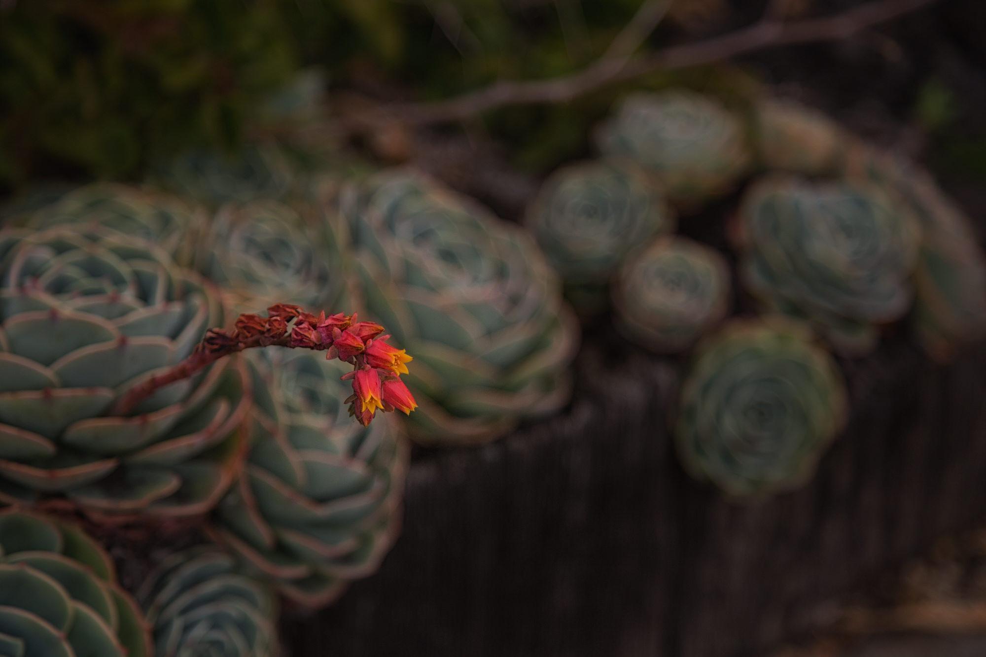 Berkeley Garden flower at dusk