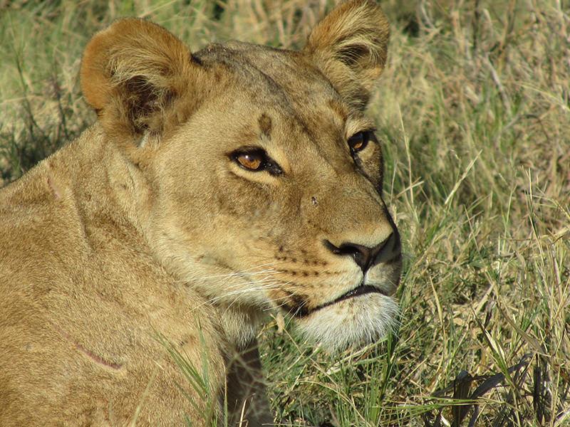 lioness_3744.jpg
