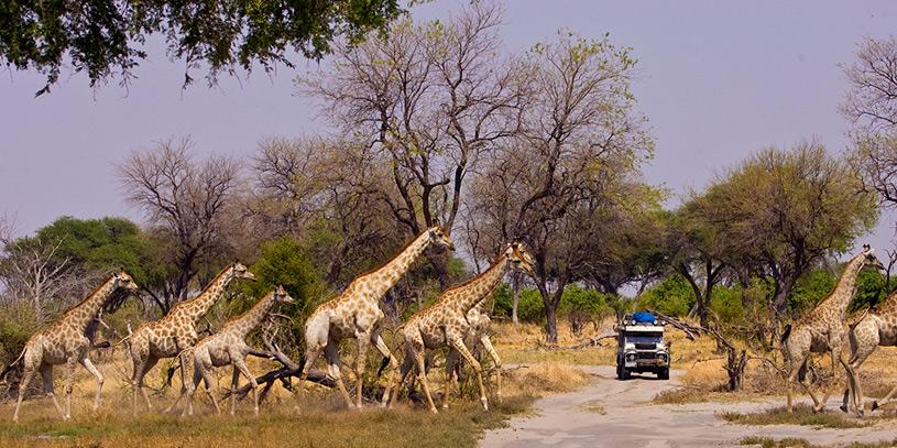 6036-Giraffes-w-Van-sm.jpg