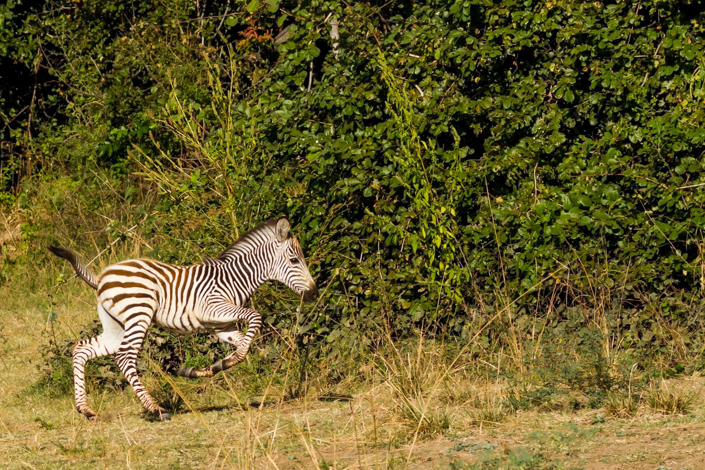 Zambian Zebras, called  Crawshay's Zebras , are particularly beautiful. This colt couldn't stand still.