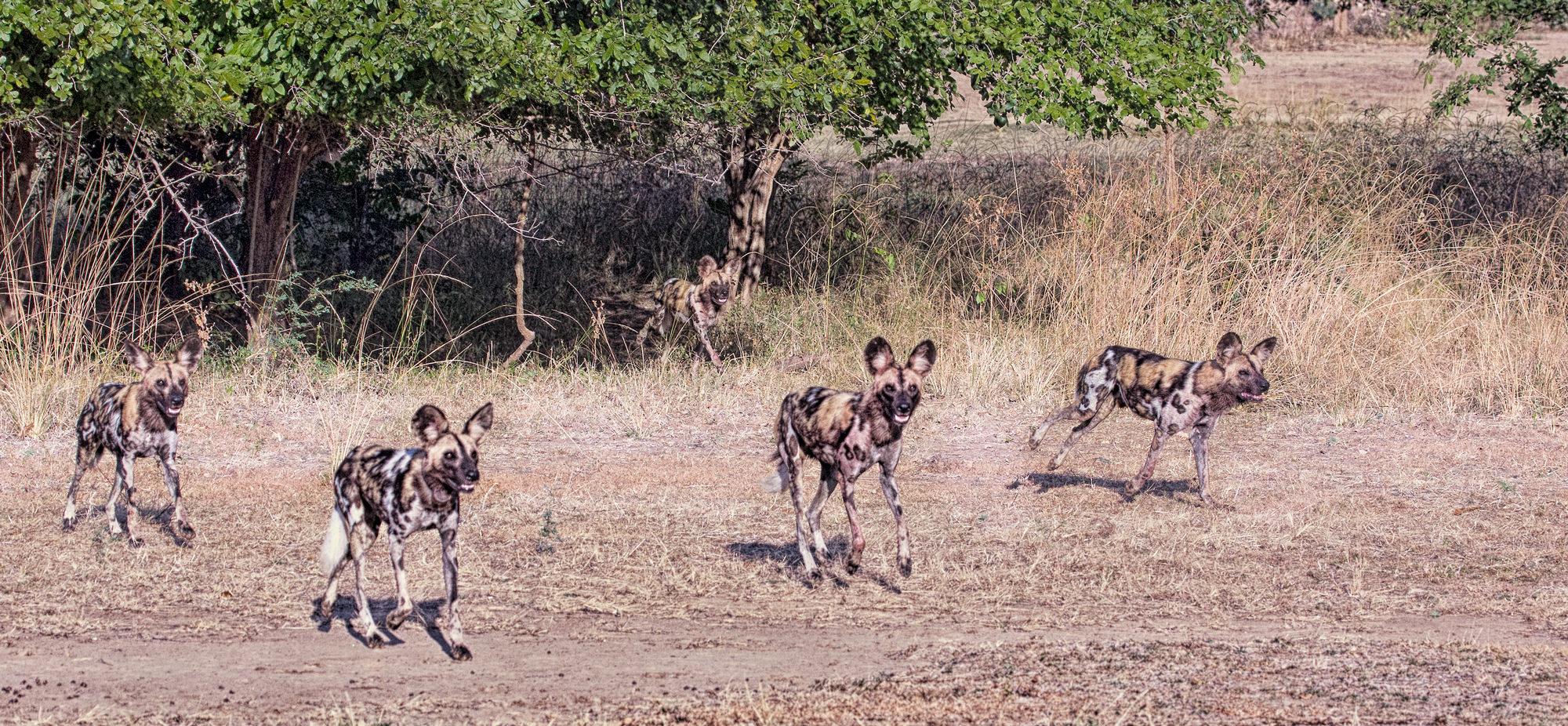 Wild Dogs.  Rumor is they are about to be renamed African Dogs.