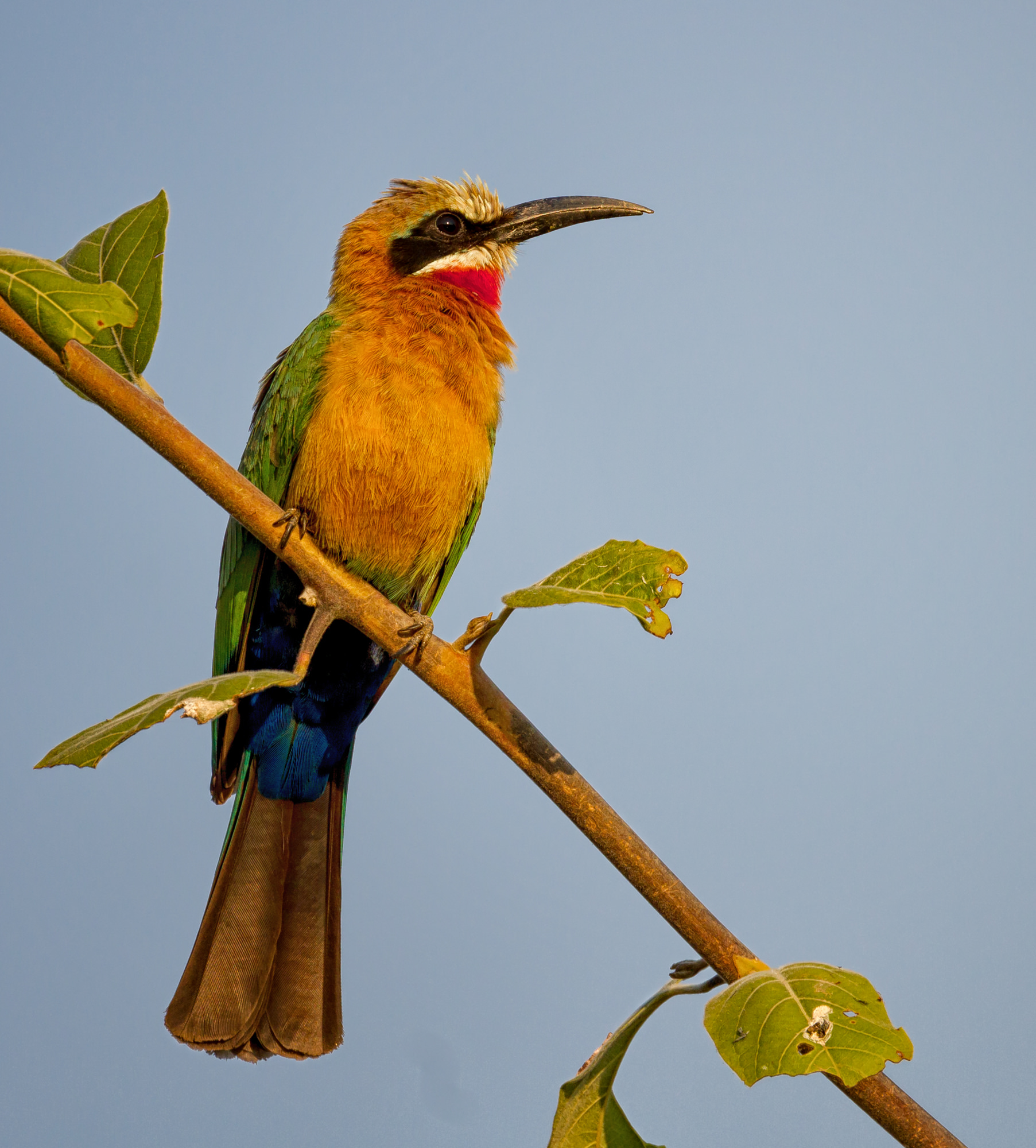 White-fronted Beeater