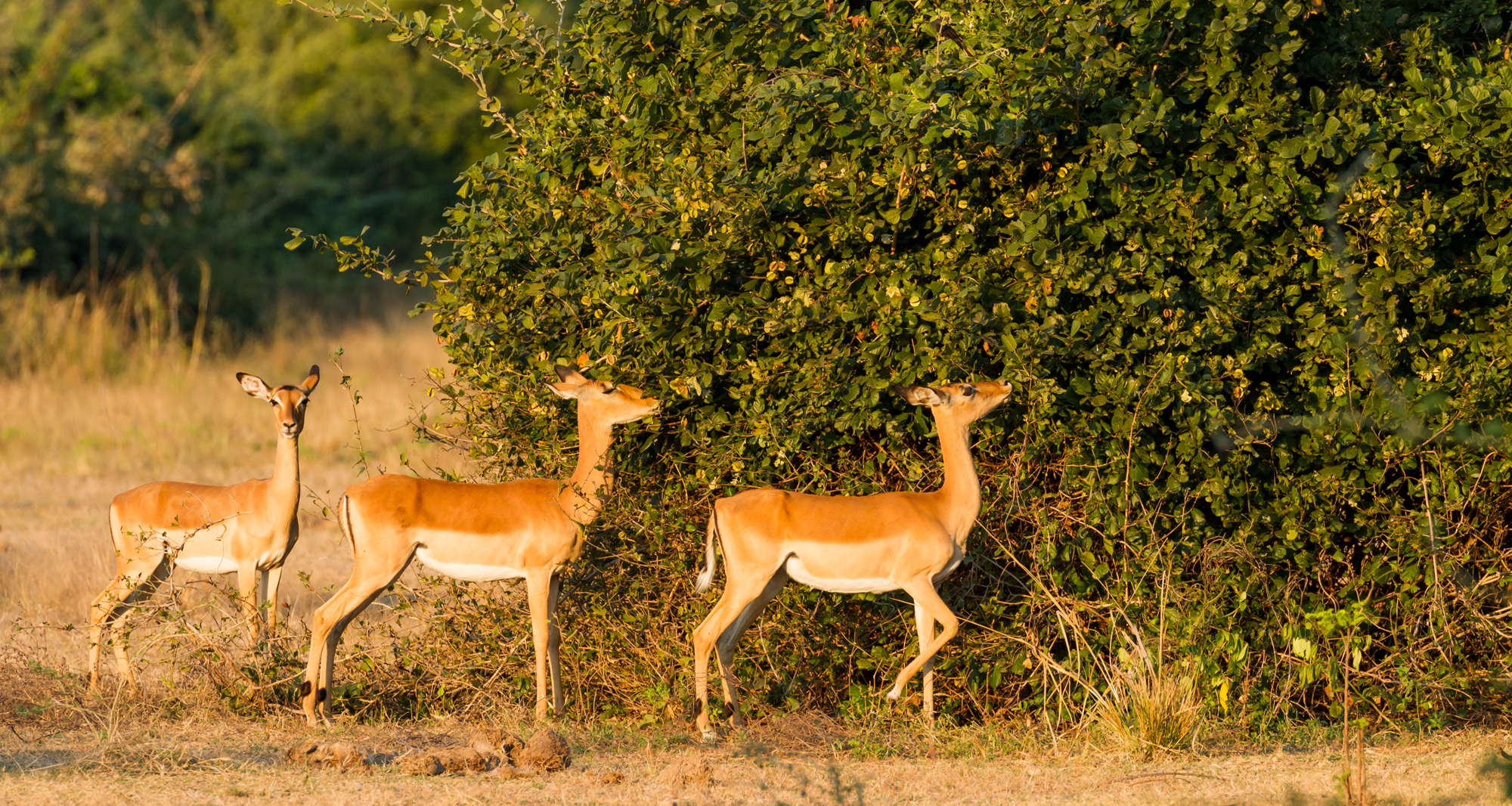 Evening Impala