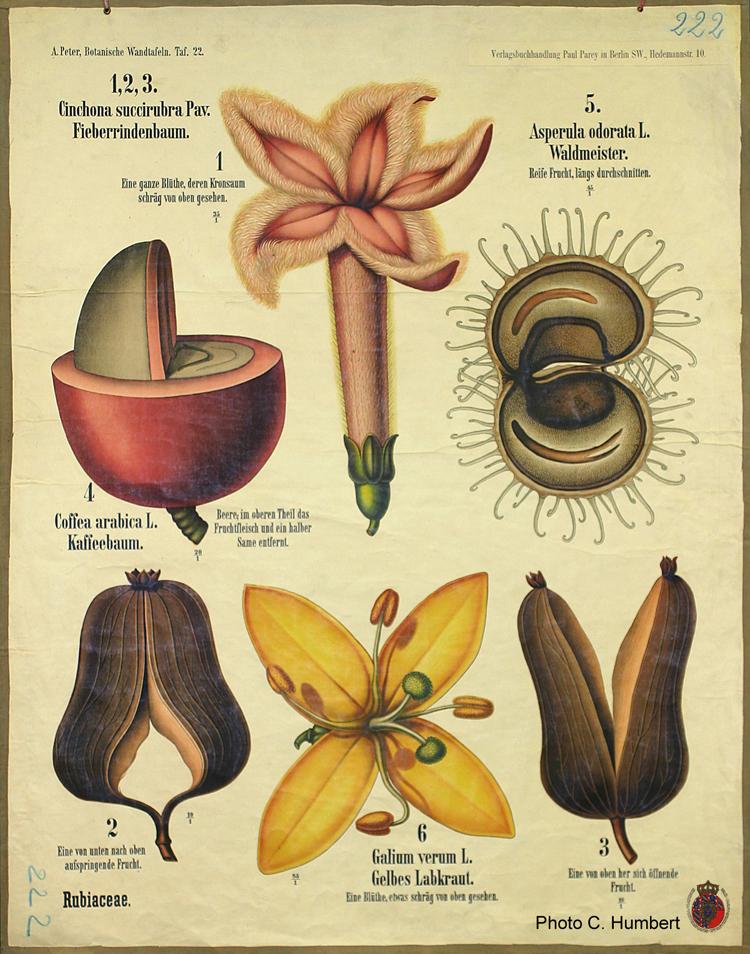 Planche botanique de Rubiacées. - Crédit : Photo C. Humbert.A. Peter, Botanishe Wandtafeln, Taf. 22.