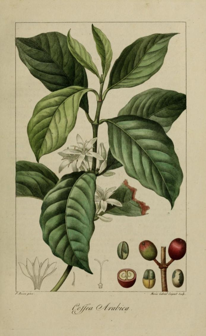 Coffea Arabica - Crédits: Bessa Pancrace, Coignet Marie Gabrielle