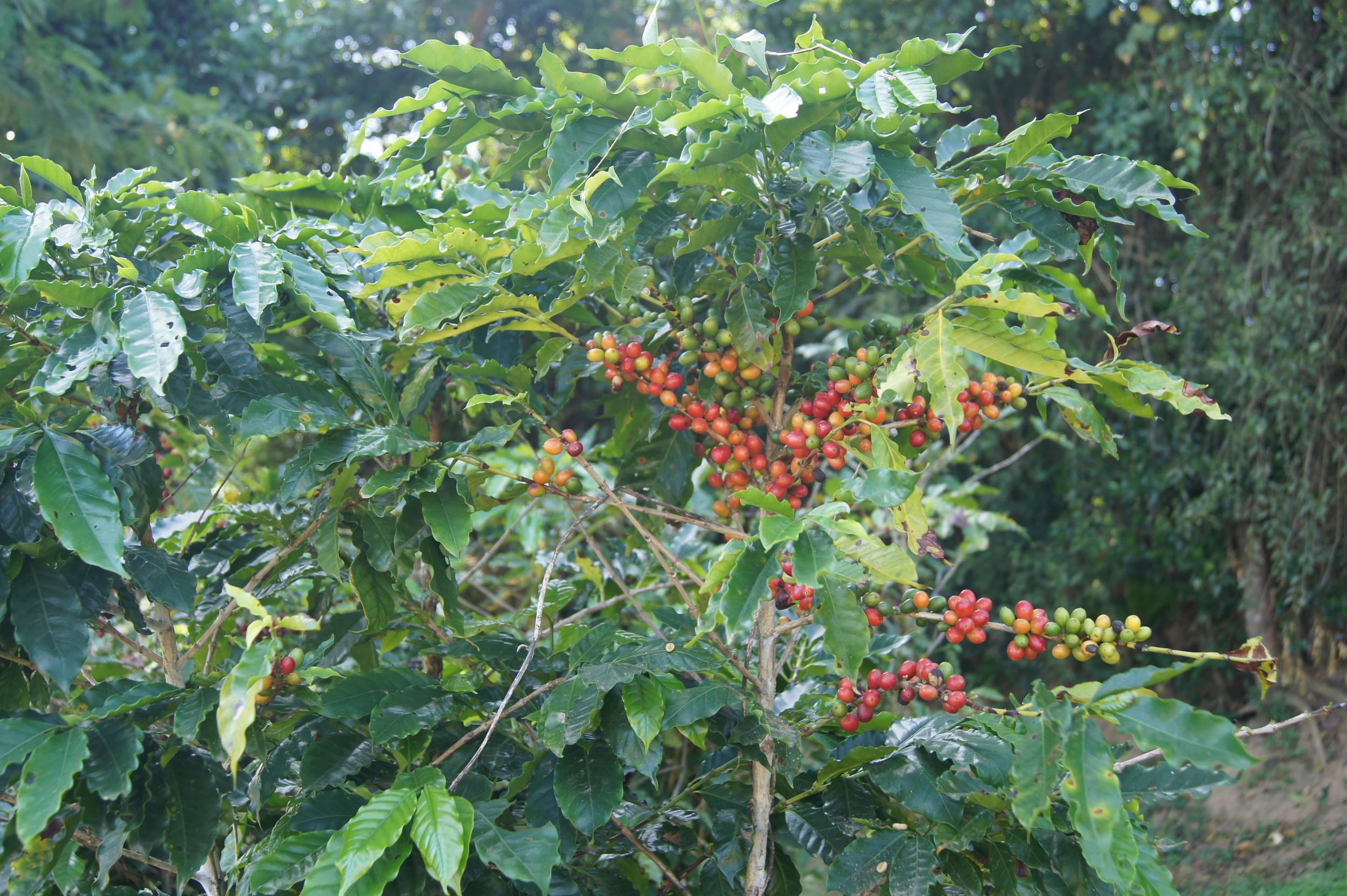 Coffea Arabica. Cerises à différents stades de maturation.