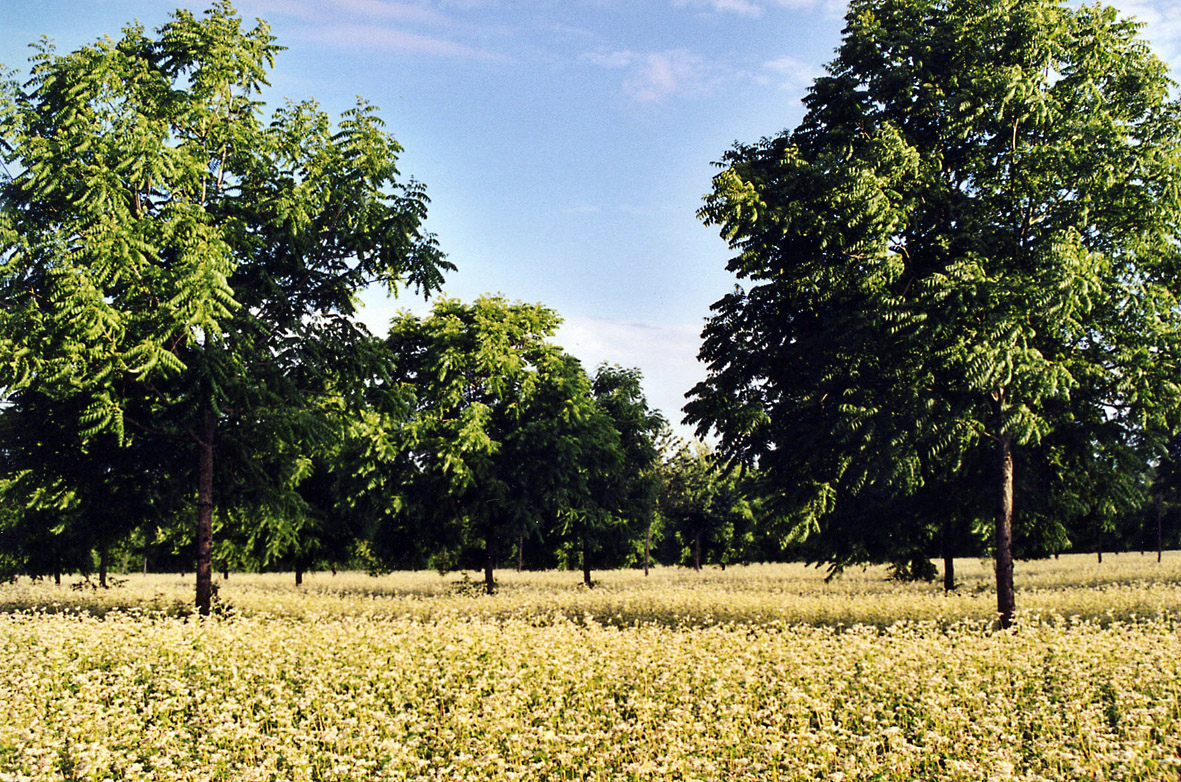 Parcelle de merisiers et noyers, associés à une rotation de blé/sarrasin/tournesol - Crédit: Etude CAS DAR 06/08
