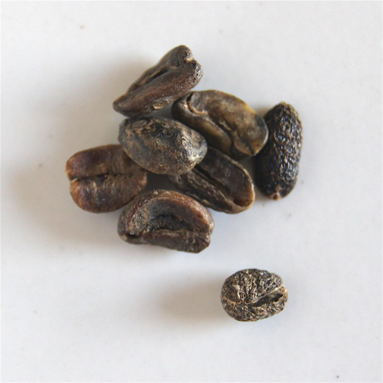 Grains noirs - cerises ramassées au sol trop mures et attaquées par des bactéries ou champignons