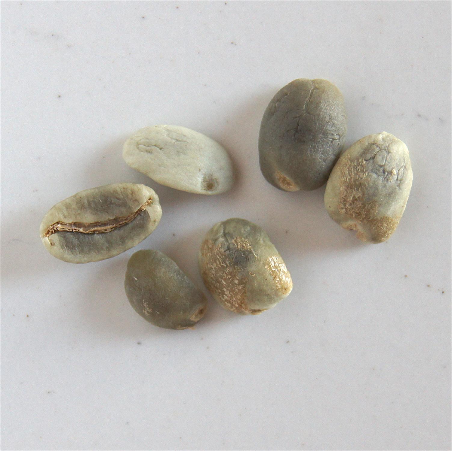 Grains blanchis en partie ou totalité - affectés par des champignons
