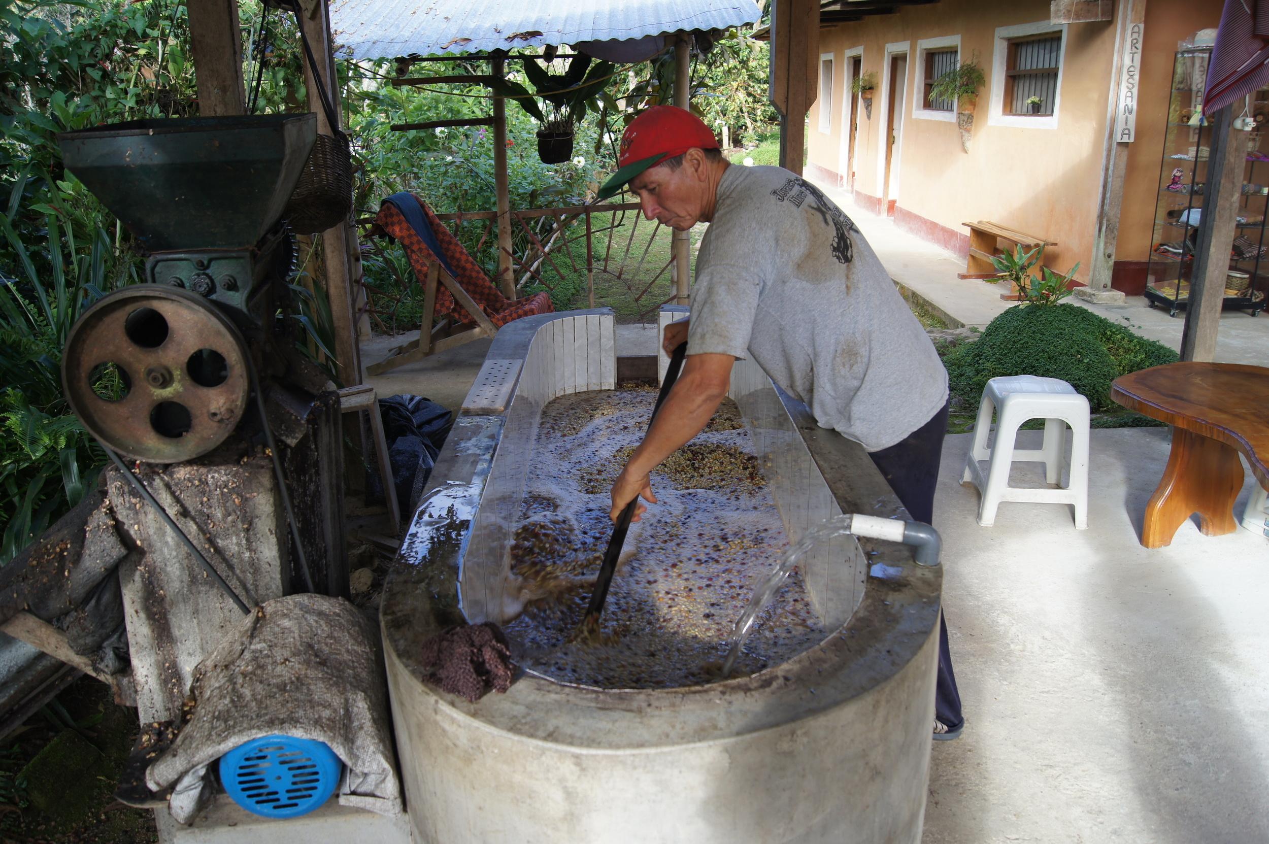 Lavage du café sur la parcelle Los Pinos.Juan Francisco Rivera, producteur de café de la région de San Ignacio, a mis au point des processus artisanaux de fermentation, lavage,sélection et séchage du café qui lui permettent de produire un café de grande qualité.