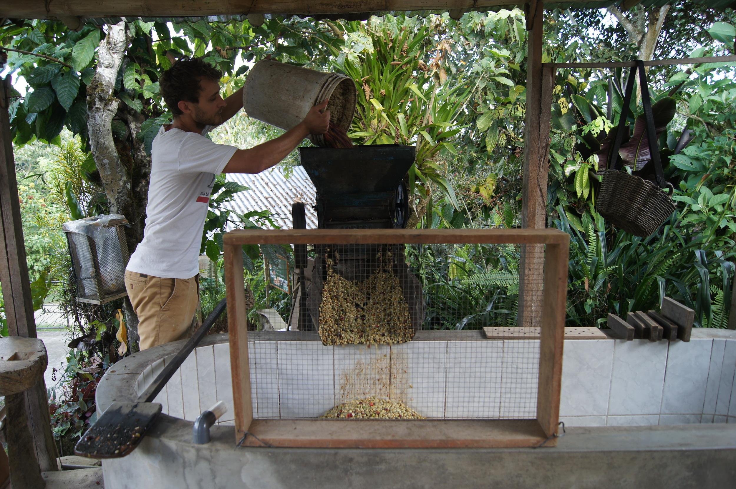 Les cerises de café sont versées dans la dépulpeuse