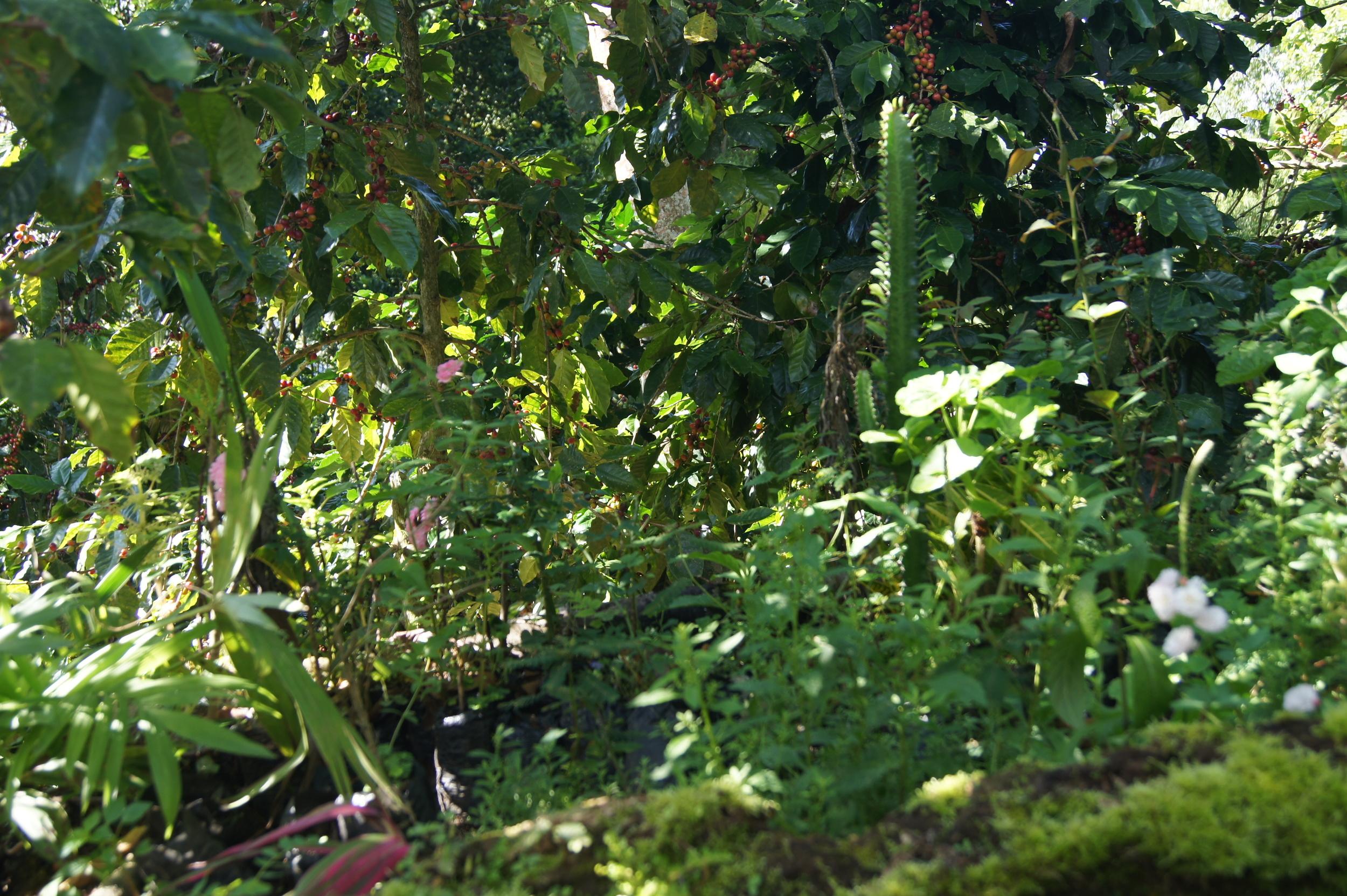 Plantes médicinales, fleurs et arbres fruitiers côtoient les caféiers