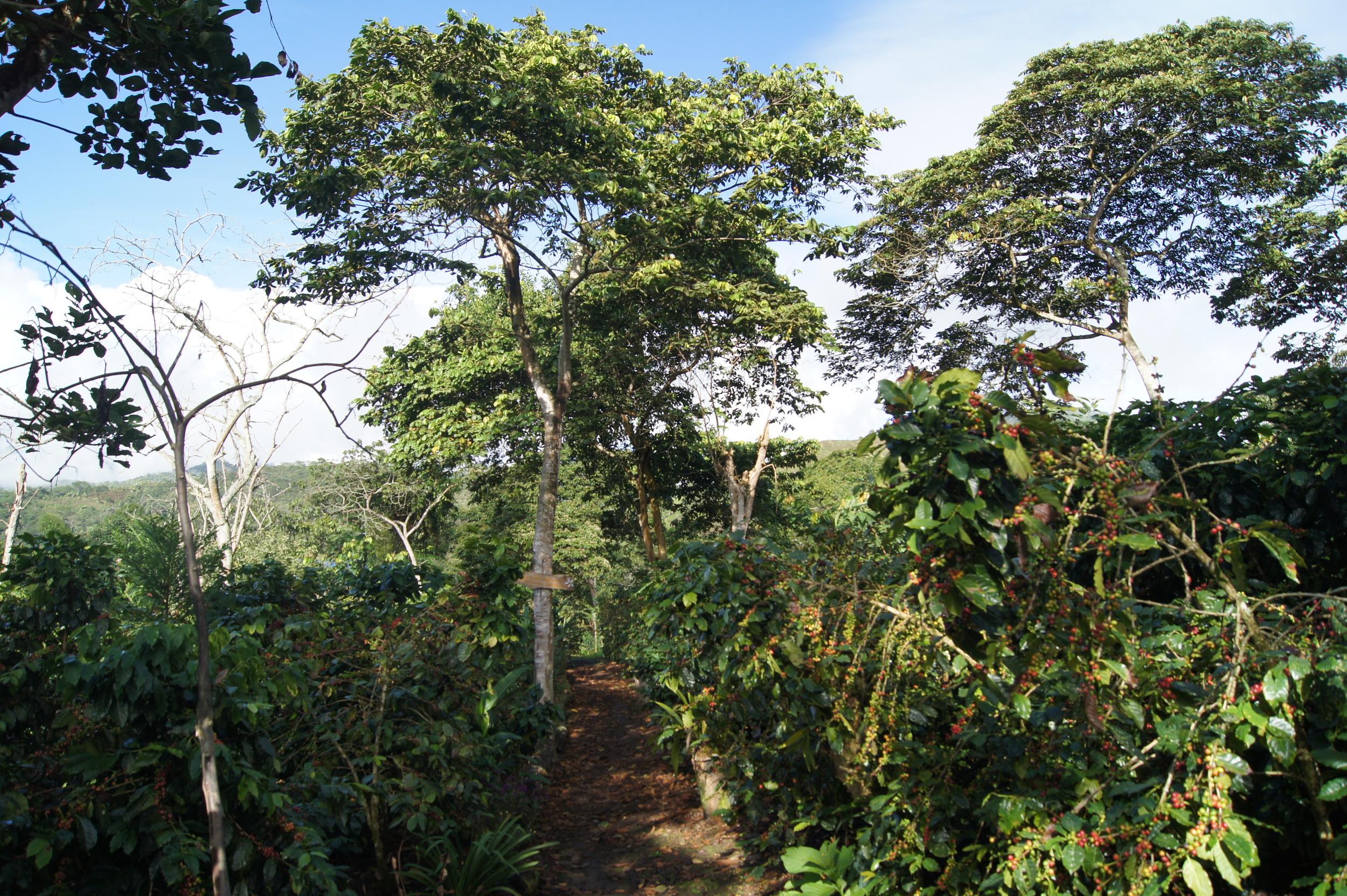 Sur la parcelle Los Pinos, on aperçoit ici des Gran Colombia cultivés sous ombrage