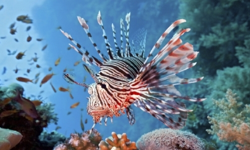 Lionfish Specials - Certified divers are you ready for action? Join our exciting lionfish hunting dives and learn about this invasive species.