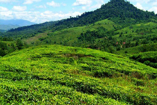 sabah-tea-plantation