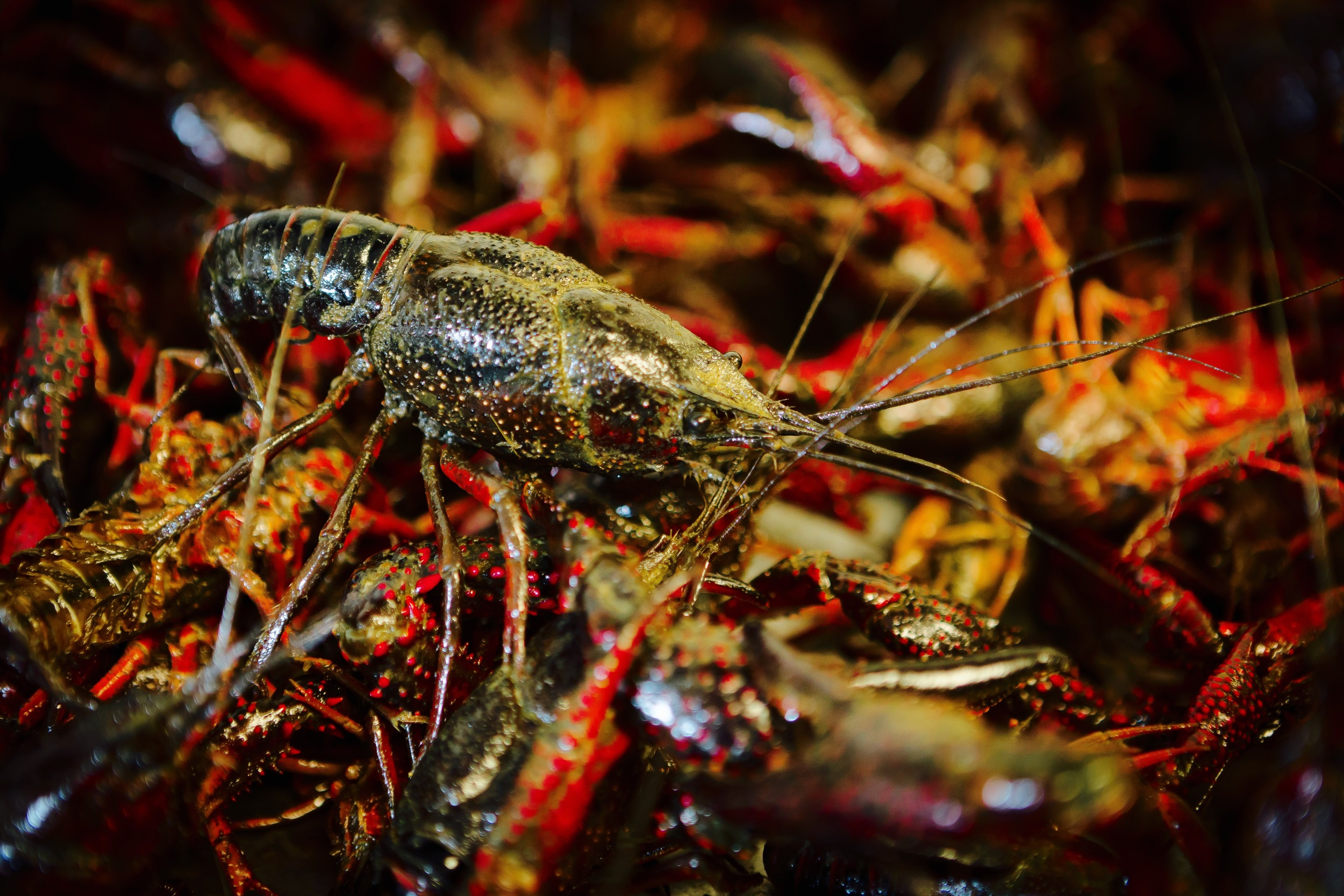 live crawfish 4.jpg