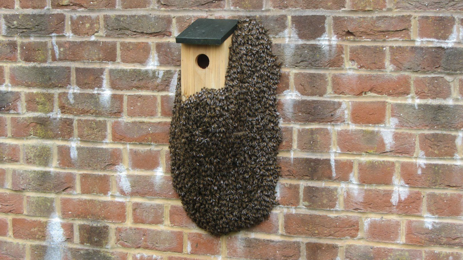 A honey bee swarm on a bird box. These are  not  bumble bees.