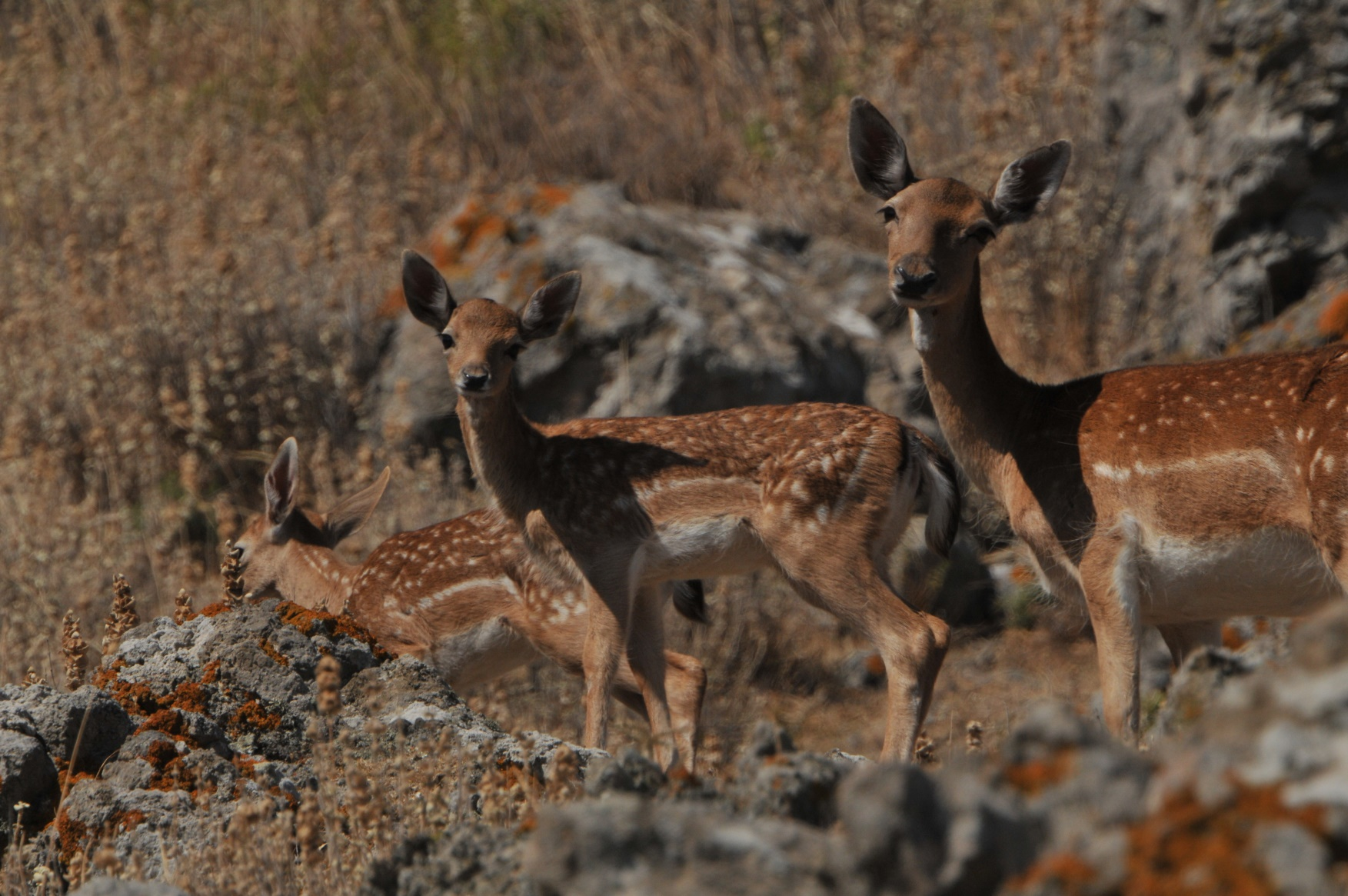 """Around the hill of the Castle of Myrina, live dozens of deers and have become a """"trademark"""" of the town."""