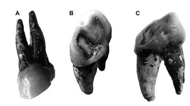 The 7.24-million-year-old upper premolar discovered in Azmaka, an area near Chirpan in Southern Bulgaria. Photo: National Museum of Natural History – Sofia