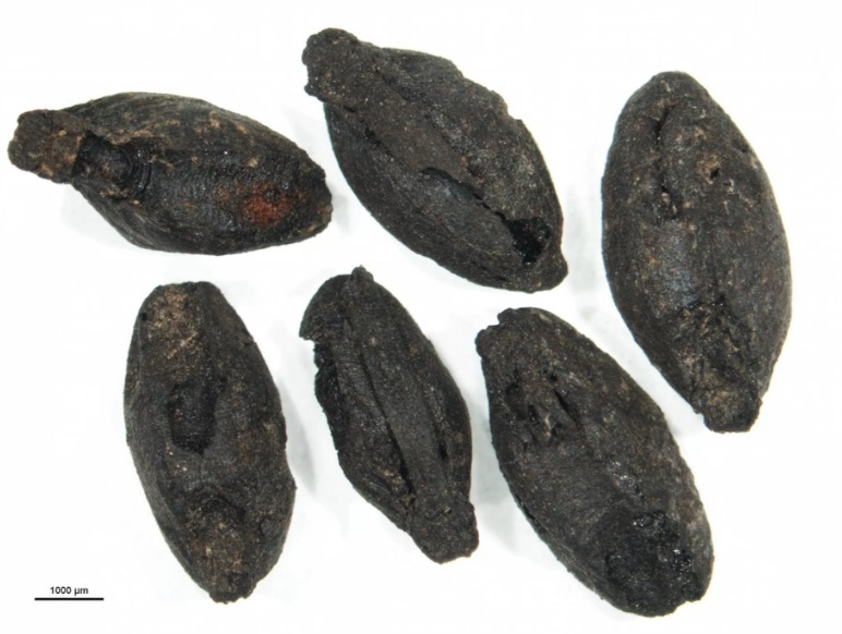 A handful of sprouted cereal grains discovered at a Bronze Age site in Argissa, Greece. The scale bar is 0.04 inches (1 millimeter). Credit: Copyright Springer-Verlag GmbH Germany, part of Springer Nature 2017