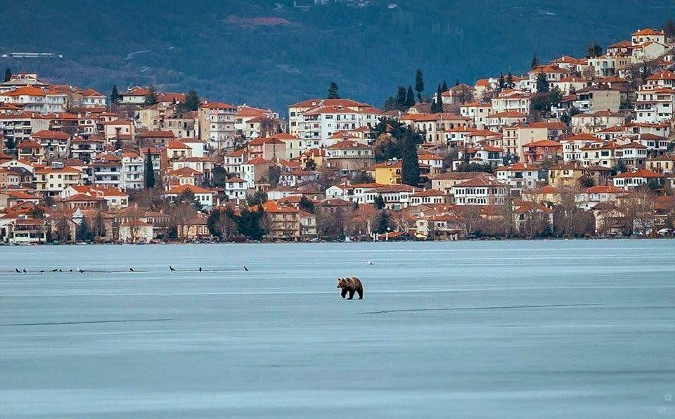 A bear walking on the frozen lake of Kastoria