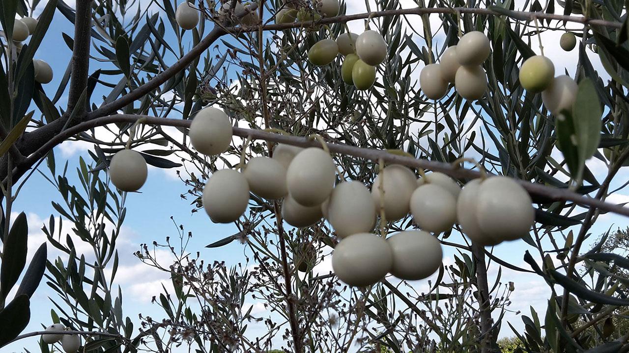 olive-albine.jpg