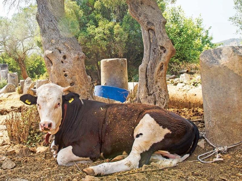Cows graze among the ruins