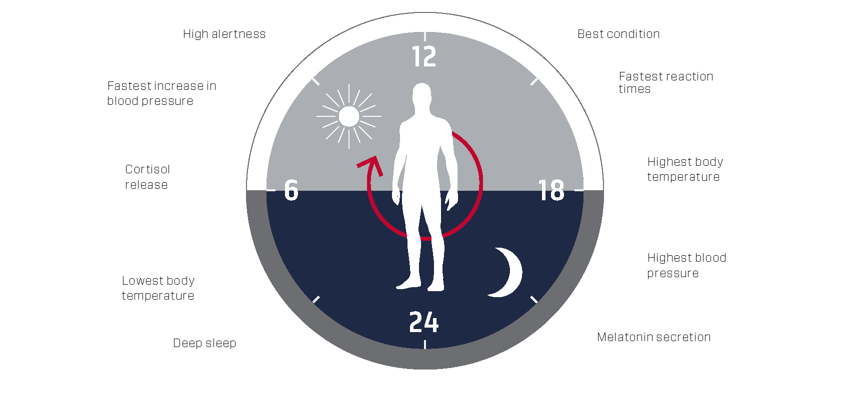 The circadaia clock. Credit: Mattias Karlen, The Nobel Committee for Physiology or Medicine