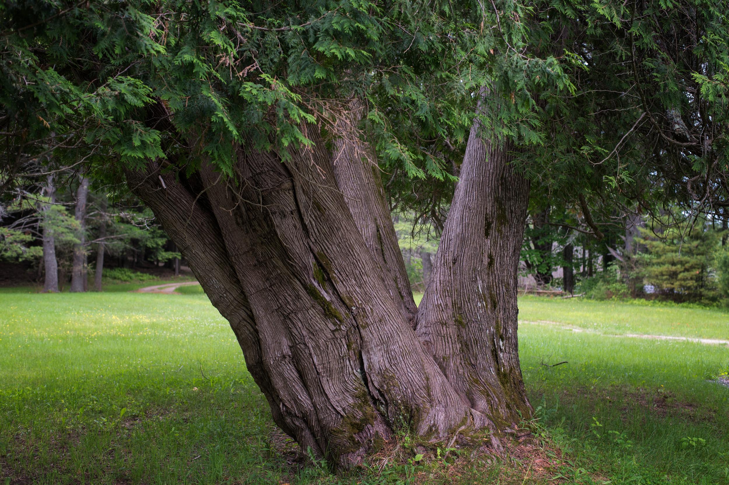 Thuja occidentalis - Northern White Cedar