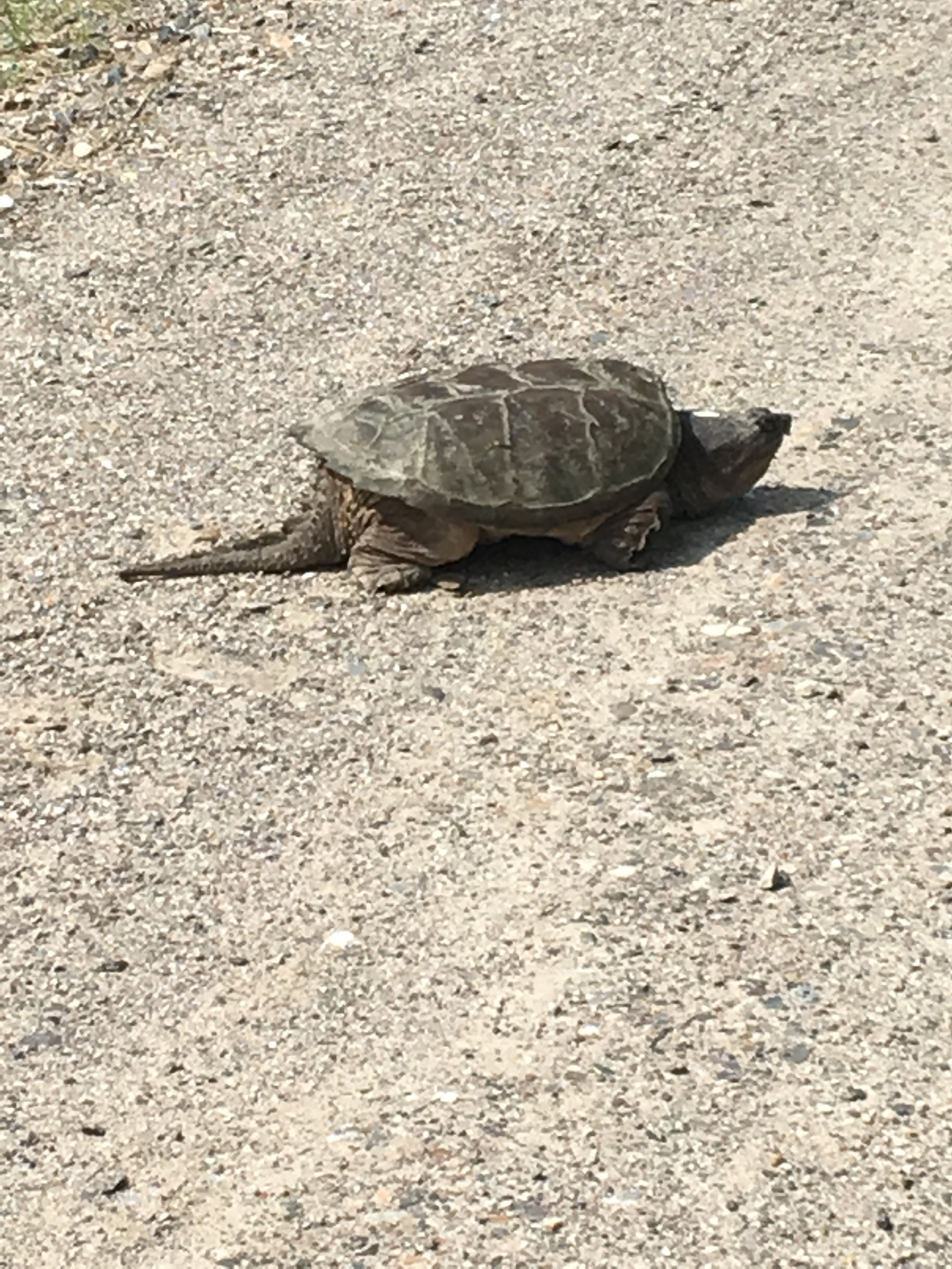 she was leaving the edge of my dirt road this morning,   having just left a cache of her new eggs in the road-side sand.  another edgy female
