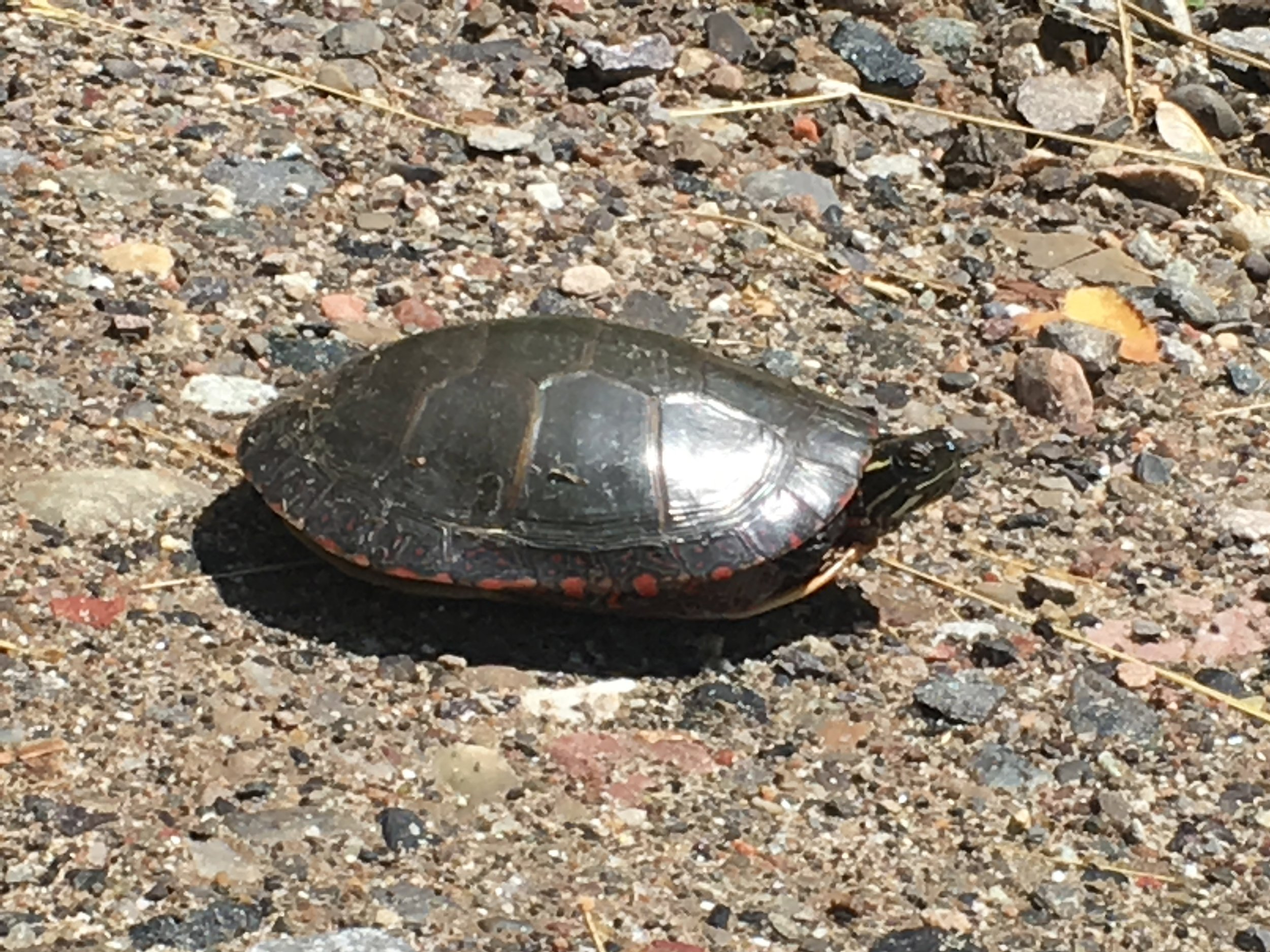 her shell is smooth and gently appliquéd with colors, a bit of a spit polish.