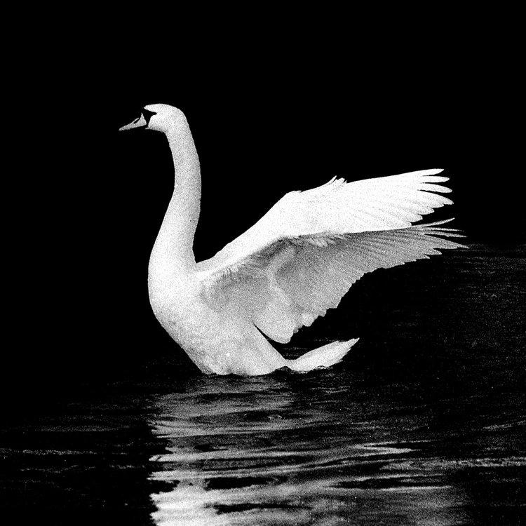 swan-fine-art-print--chris-wallace-photography.jpg