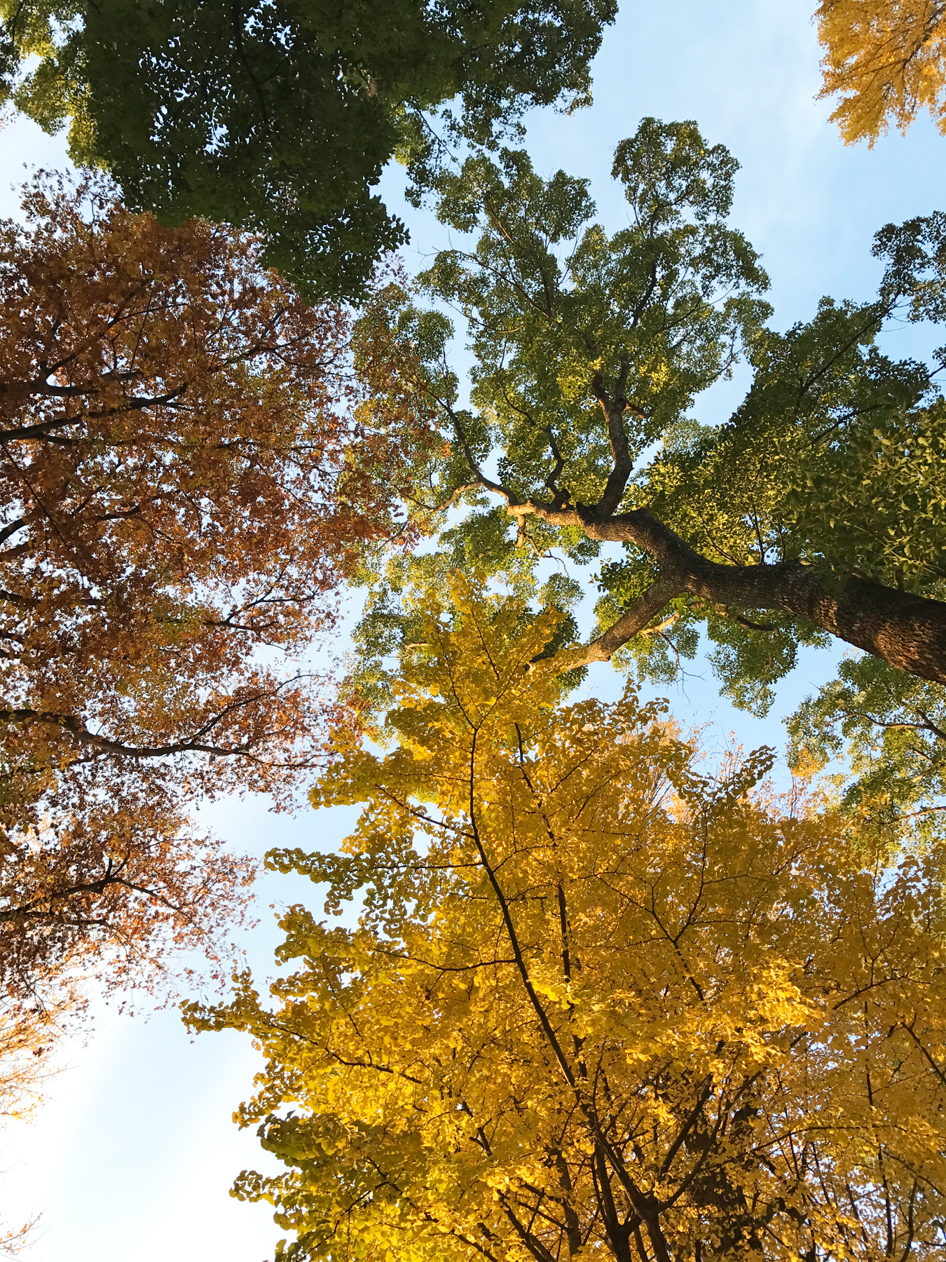 Beautiful fall coloured trees at Ueno Park