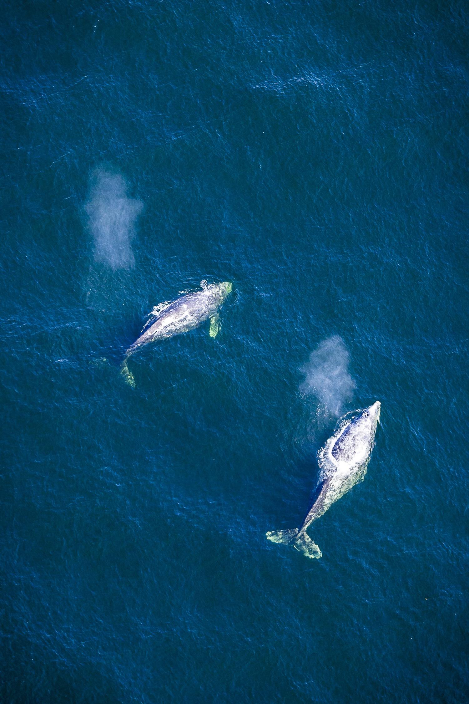 4-Grey-Whales-TJ-Watt.jpg