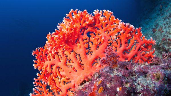 coral-600x338.jpg