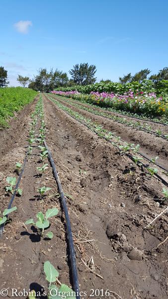 Broccoli June9.jpg