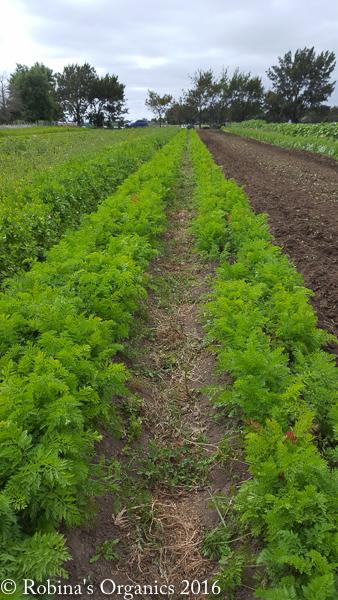 Carrots ready for harvesting.jpg