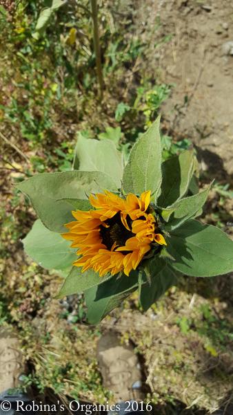Farm Sunflower.jpg