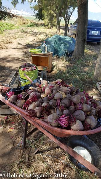 June 3 First Harvest Beets.jpg